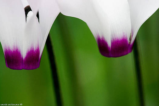 Close up couple Cyclamens by Sarit Saliman