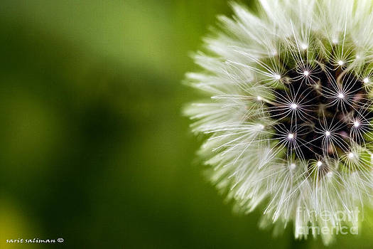 Close Up Dandelions Seed On Green Background by Sarit Saliman