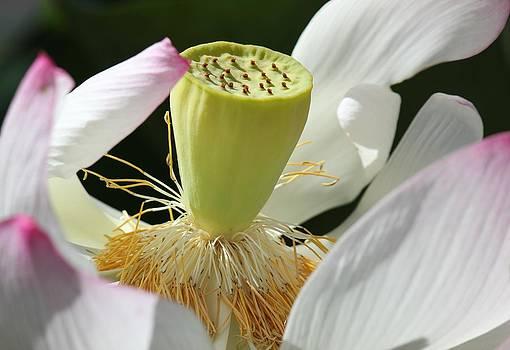 Close up Lotus by Bonita Hensley