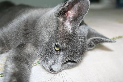 Tracey Harrington-Simpson - Close Up Of A Grey Kitten