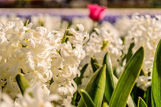 close-up of a Hyacinth field by Yvon van der Wijk