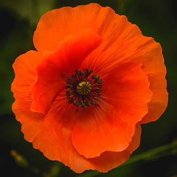 Close Up Of A Poppy Flower by Yvon van der Wijk