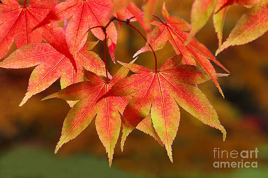 Close-up of maple leaves in autumn by Rosemary Calvert