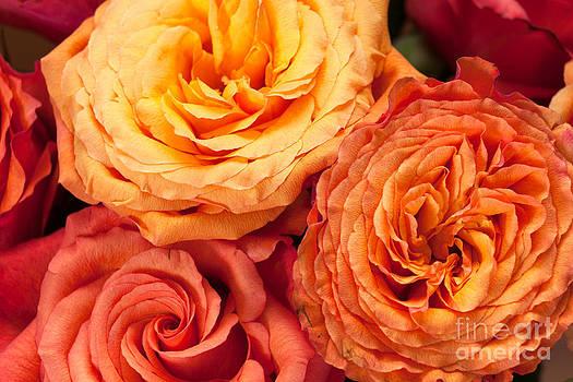 Peter Noyce - close up view of pink orange yellow hybrid tea roses