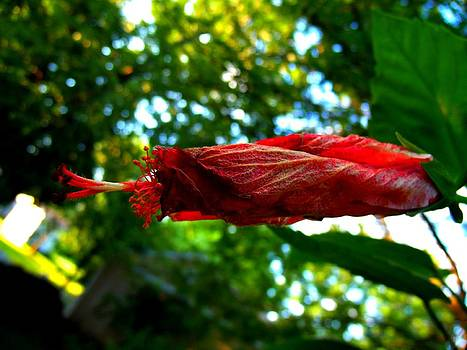 Closed Hibiscus by Mark Malitz