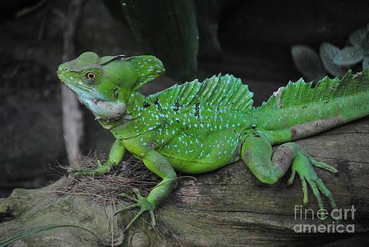 TChamberlin Photography - Closeup Lizard