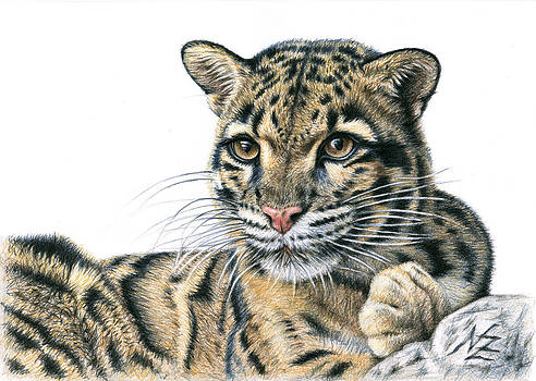 Clouded Leopard by Nicole Zeug