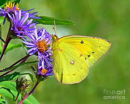 Clouded Sulphur by Rodney Campbell