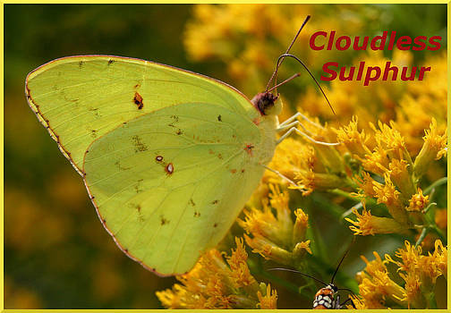 Cloudless Sulphur by April Wietrecki Green