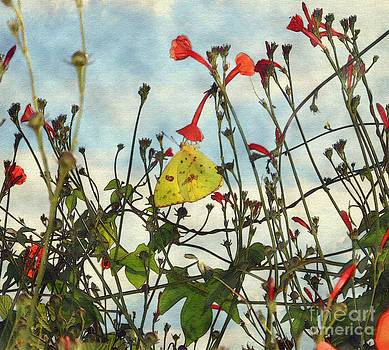 Cloudless Sulphur on a wild morning-glory by Kim Pate