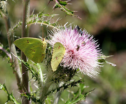 Cloudless Sulphur on Purple Thistle by April Wietrecki Green