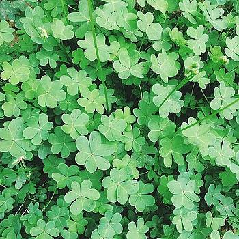 Clover In The Garden 🌿 by Courtney Jines