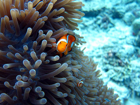 Clownfish Borneo by Laura Hiesinger