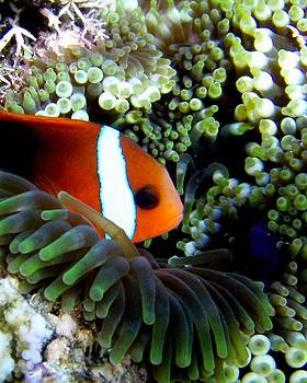 Clownfish In Anemone by Martha Lyle