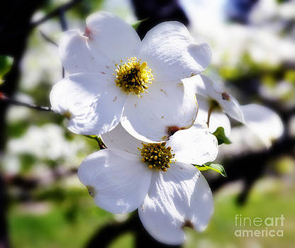 Cluster of Dogwood Blossoms by Eva Thomas