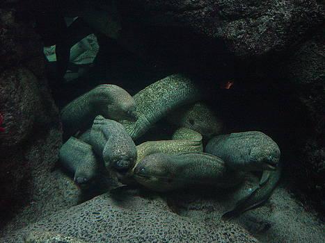 Cluster of Morays by Robert Bartlett