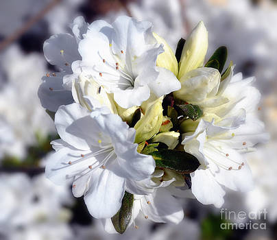 Cluster of White Azaleas by Eva Thomas
