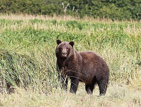 Coastal Brown Bear by Donna Quante