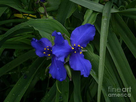 Cobalt Blue Flower by Kimbrella  Studio