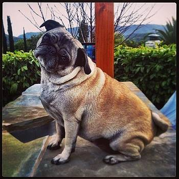 Coco Doing Her Thing. #pug by Tristan Thames