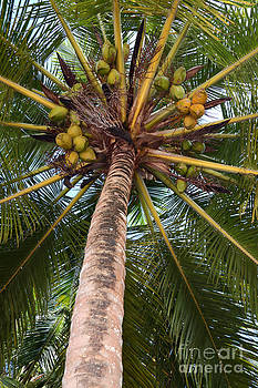 James Brunker - Coconut palm
