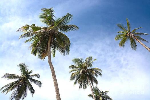 Coconut palms by Christina Rahm