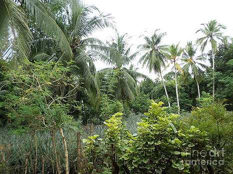 Coconut Trr by Sunanda Yapa