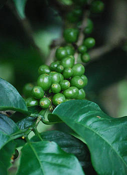 Coffee Plant by Lorena Mahoney