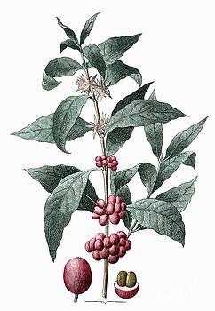 Sheila Terry - Coffee Plant