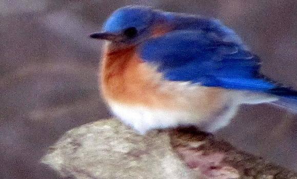 Betty Pieper - COLD bluebird in a New York winter