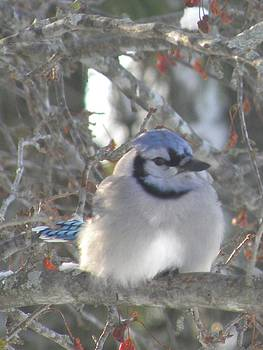 Peggy  McDonald - Cold Canadian Bluejay