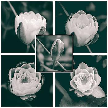 Collage Water Lily by Yvon van der Wijk