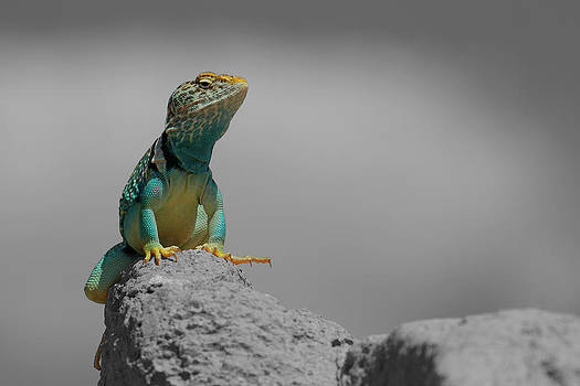 Collard Lizard by Old Pueblo Photography