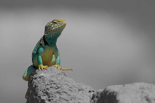 Collard Lizard by Old Pueblo Photography