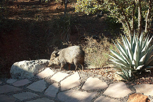 Collared Peccary by Curtis Jones