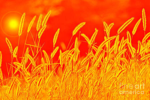 Hermanus A Alberts - Color Art of Golden Grass