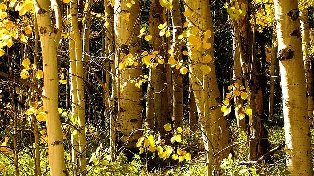 Colorado Aspens by Claudette Bujold-Poirier