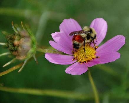 Colorado Cosmos and Bee by Rhonda Van Pelt