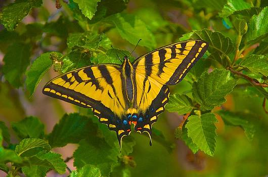 Colorado Swallowtail by Larry Bodinson