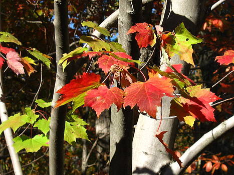 Colorful Autumn Leaves by Sarah Manspile