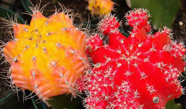 Colorful Cactus by Van Ness