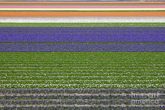 Colorful fields of tulips and hyacinth in Netherland. by Kiril Stanchev