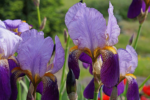 Baslee Troutman - Colorful Fine Art Prints Purple Iris Flowers