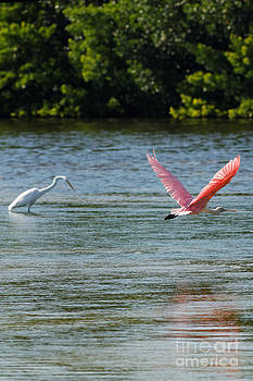 Colorful Flight of the Spoonbill by Natural Focal Point Photography