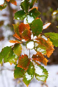 Colorful Oak Leaves by Jim McCain