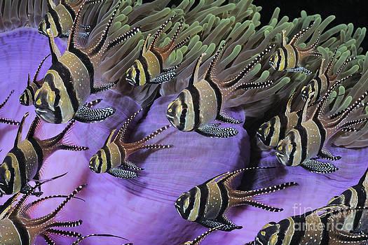 colorful tropical fish photograph of Banggai Cardinalfish from I by Brandon Cole