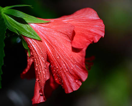 Connie Fox - Colors of Love. Red Hibiscus Flower