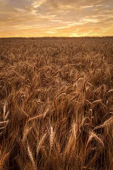 Scott Bean - Colors of Wheat