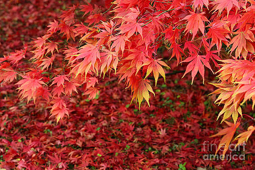 Colourful autumn leaves by Rosemary Calvert