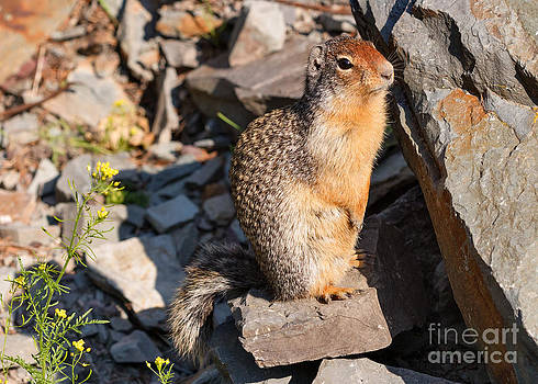 Charles Kozierok - Columbia Ground Squirrel Portrait